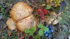 Где растут боровики, лисички и сыроежки: гид по грибным местам в Петербурге и Ленинградской области